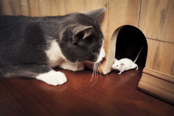 cat looking at a mouse