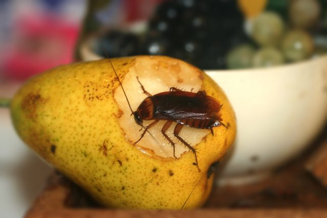 cockroach eating a pear