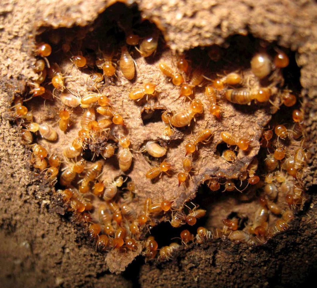 termites underground