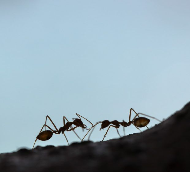 2 ants silhouettes
