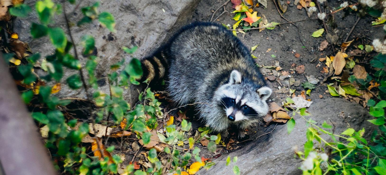 raccoon in the garden