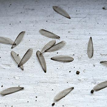 termites wings